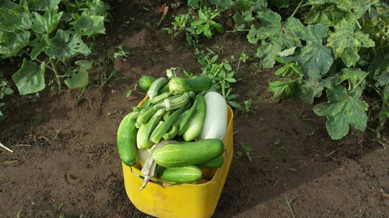 Récolte au jardin de Managagou